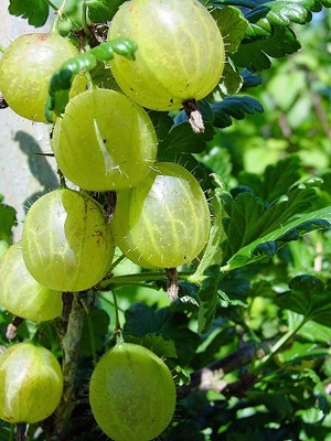 Gooseberries_300