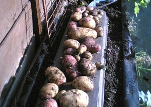 potatoes300